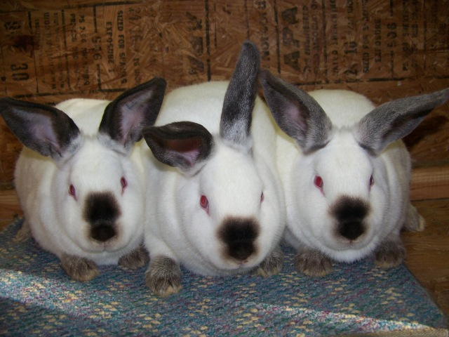 Californian Rabbits